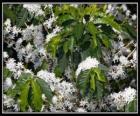 Káva květina