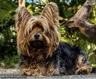 Teriér pes s dlouhými vlasy