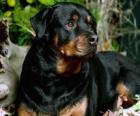 Rotvajler hlídací pes
