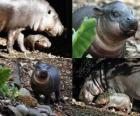 Pygmy hroch v Taronga Zoo