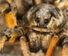 Tarantule, velký pavouk s dlouhýma nohama plnou chlupů