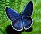 modrý motýl s křídly dokořán