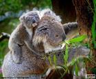 Koala, lezení na strom