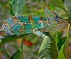 Chameleonovití