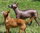 Pes je plemeno xoloitzcuintle téměř holá z Mexika, ale tam jsou vlasy