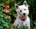 West Highland White teriér je plemeno psa Skotska známý pro svou osobnost a sněhobílá