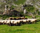 Pastýř tendenci jeho stádo