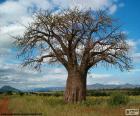 Baobab prstnatý (Adansonia digitata), je velký africký strom