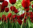 Červený tulipány