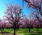 Kvetoucích mandloní stromy na jaře