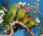 Čtyři papoušků