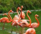 Plameňáci v vodě, velkých vodních ptáků s peřím růžový