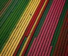 Oblast tulipány v Holandsku