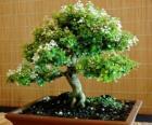 Bonsai stromu, miniaturní strom v zásobníku po japonského umění bonsají
