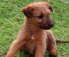 Irský teriér štěně
