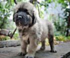 Šarplaninac štěně