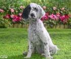 Anglický setr štěně