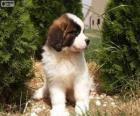 Bernardýn štěně