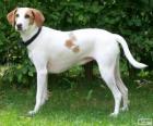 Istrijské krátkosrstá pes