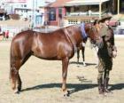 Waler koně pocházející z Austrálie
