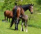 Württemberský teplokrevník, koně v Německu