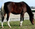 Wielkopolski kůň pocházející z Polska