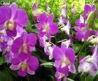 Lila orchideje