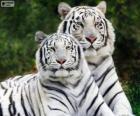 Bílá bengálských tygrů