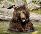 Velký medvěd ve vodě