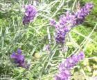 Lavender květiny