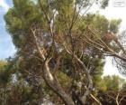 Středomořské borovice