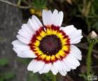 Trikolorní chryzantéma