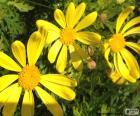 Žluté sedmikrásky