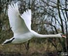 Labuť velká letící