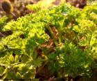 Petržel rostlin