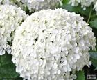 Květiny bílé hortenzie