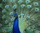 Nádherný vzor páv modrý, původem z Asie