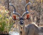 Samec Kudu