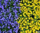 Modré a žluté květy