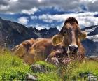 Kráva odpočívající