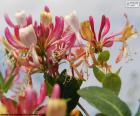 Zimolez květiny
