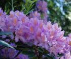 Fialové květy azalka