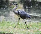 Volavka popelavá dlouhé nohy