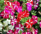 Petúnie květiny