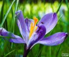 Šafrán květ