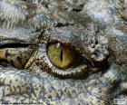 Krokodýl oko