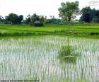 Naleziště rýže, Indonésie