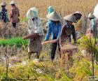 Sklizeň rýže, Indonésie