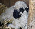Černý nos ovce