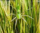 Zelená lynx pavouk